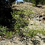 Rosa micrantha subsp  chionistrae (1)