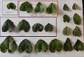 Cyclamen leaves (3)