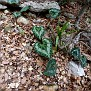 Cyclamen graecum (2)