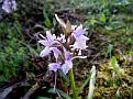 Dactylorhiza romana (15)