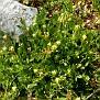 Anthyllis tetraphylla (1)