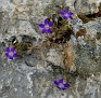 Campanula drabifolia (6)