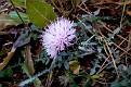 Centaurea aegialophila (5)