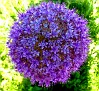 Allium giganteum (3)