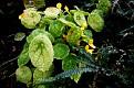 Begonia  ficicola (1)