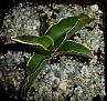 Sansevieria robusta ex Vrskovy (5)