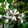 Pelargonium  (1)