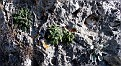 Campanula celsii , Inula verbascifolia subsp  methanea