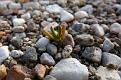 Mesembryanthemum nodiflorum (3)