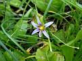 Romulea ramiflora  (10)