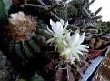 Discocactus heptacanthus (3)