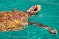 Caretta-Caretta Turtle