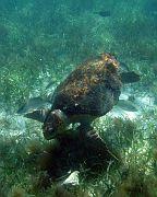 Loggerhead (?) sea turtle