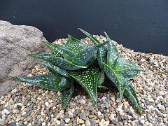 Aloe imolatensis