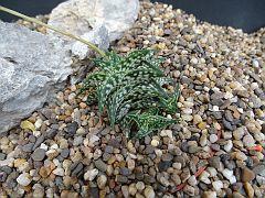 Aloe descoingsii ssp. augustina