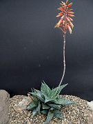 Aloe imalotensis