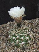 Gymnocalycium quellianum v. albispinum.JPG