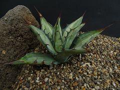 Agave desertii v. simplex fa. striata - mediopicta