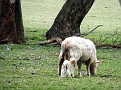 Newborn Lamb on Yarras Lane Bathurst 004