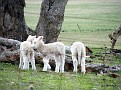 Lambs playing on Yarras Lane Bathurst 005