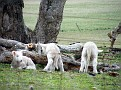 Lambs playing on Yarras Lane Bathurst 012