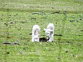 Lambs playing on Yarras Lane Bathurst 014