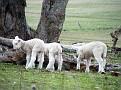Lambs playing on Yarras Lane Bathurst 010