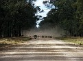 Droving a mob of sheep in the Pilliga 003