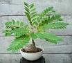 Phyllanthus mirabilis