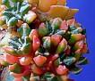 Ariocarpus kotchoubeyanus variegata (17)