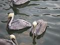 Pelicans in the Waterway of Ft. Lauderdale, Florida.