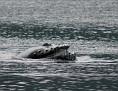 Open wide, humpback feeding
