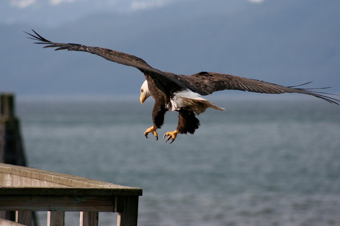 Eagle landing on approach to Gustavus dock