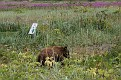 Cinnamon black bear on Fairweather Golf Course