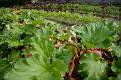 Rhubarb is a mainstay