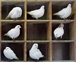 """"""" Kaloge pigeons"""""""