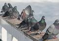 Pigeons observing.