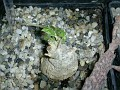 Melothria punctata