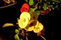 Euphorbia milii (1)