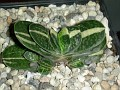 Gasteria sp  variegata