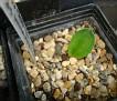 Eriospermum sp. Platbakkies - Lav. 31251a