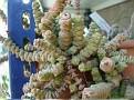 Crassula rupestris ssp  marnierana
