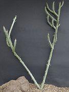 Kleinia anteuphorbium