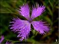 DSCN1354 Dianthus sp  02 08 12