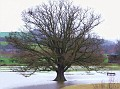 Flooded Oak