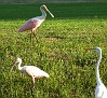 roseate spoonbill (pink at top)