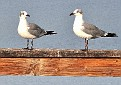 "from one Laughing Gull to another: ""you are cute"""