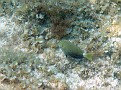 more Nippurs reef