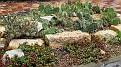 My winterharten Kakteen September 2012 My winter hardy cacti in September 2012 (IMG 0232 i2e)