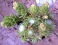 S. arachnoideum X